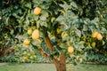 Backyard lemon tree full of healthy citrus fruit Royalty Free Stock Photo