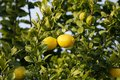 Close up of Lemons hanging from a tree in a lemon grove Royalty Free Stock Photo