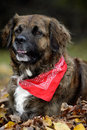 Close-up of a Leonberger dog Stock Photography