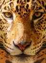 Close up of a leopard shot gorgeous Royalty Free Stock Image