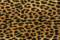 Close up leopard spot pattern Royalty Free Stock Photo