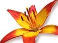 De lirio flor en blanco