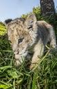 Close Up Of A Lion Cub