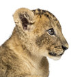 Close up of a lion cub profile weeks old isolated on white Stock Image