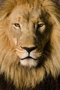 Close-up on a Lion's head (4 and a half years) - P Stock Photos