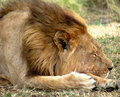 Close up of lion sleeping shot powerful male Royalty Free Stock Image