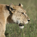 Close-up of Lioness at the Serengeti Stock Images