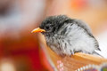 Close up of little bird a looking straight with blur background Royalty Free Stock Photo