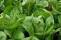 Close up Little Gem Romaine Lettuce. Royalty Free Stock Photo
