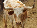 Close up of a longhorn cow Royalty Free Stock Photo