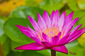 Close up of lotus flower Stock Photography
