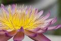 Close up Lotus flower Royalty Free Stock Photo