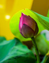 Close up Lotus flower background Royalty Free Stock Photo