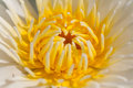 Close up lotus flower yellow fell serenity Royalty Free Stock Photos