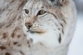 Close up of a lynx european in the cold winter february norway Stock Photo