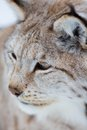 Close up of a lynx in the winter european forest february norway Royalty Free Stock Photos