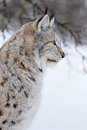 Close up of a lynx in the winter european sittings snow cold february norway Stock Images