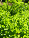 Close Up Macro of Curly Leaf Parsley Leaves Royalty Free Stock Photo