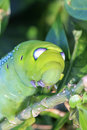 Close up macro Caterpillar / green worm is eating tree leaf Royalty Free Stock Photo