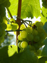 Close Up of Ripe Grape Cluster on Vine Royalty Free Stock Photo