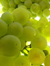 Close Up Macro of Ripe Translucent Grape Cluster on Vine Royalty Free Stock Photo