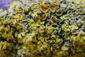 Close up macro shot of moss and lichen on a tree branch Royalty Free Stock Photo