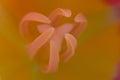 Close up macro shot of tulip yellow pink Stock Photography