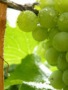 Close Up of Drops on Ripe Grape Cluster on Vine Royalty Free Stock Photo