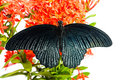 Close up mail great mormon butterfly perching red ixora flower back side Stock Image