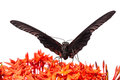 Close up mail great mormon butterfly perching red ixora flower front view Royalty Free Stock Image