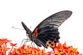 Close up mail great mormon butterfly perching red ixora flower front view Stock Images