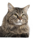Close-up of Maine Coon, 2 years old Royalty Free Stock Image