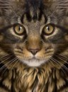 Close-up of Maine Coon`s face with whiskers Royalty Free Stock Photo
