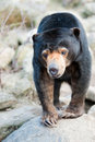 Close up of a Malayan Sun Bear Stock Photo