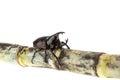 Close up male fighting beetle rhinoceros beetle on sugarcane i isolated white background Stock Photos