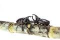 Close up male fighting beetle rhinoceros beetle on sugarcane i isolated white background Stock Photography
