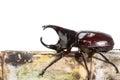 Close up male fighting beetle rhinoceros beetle on sugarcane i isolated white background Royalty Free Stock Images
