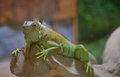 Close-up of a male Green Iguana Royalty Free Stock Photo