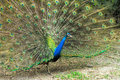Close up of male indian peafowl displaying tail feathers Royalty Free Stock Photography