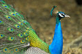 Close up of male indian peafowl displaying tail feathers Stock Images
