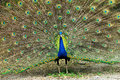 Close up of male indian peafowl displaying tail feathers Royalty Free Stock Images