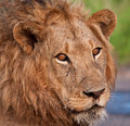 Close up of male lion Stock Photo