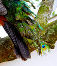 Close up of a male peacock s tail feathers as he sits on tree branch even for colourful bird like the his Stock Images