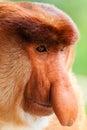 Close Up Of A Male Proboscis M...