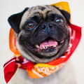 Close up male pug dog portrait a tight head and shoulders shot of a smiling Royalty Free Stock Photography