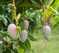 Close up of mangoes on a mango tree thailand Stock Images
