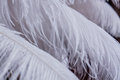 Close up of many soft White feathers Royalty Free Stock Photo