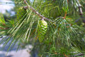 Close up mediterranean pine of a Royalty Free Stock Photography