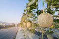 Close up melon growing ready for harvest in field plant. Royalty Free Stock Photo