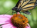 Close Up of a Monarch Butterfly Drinking Nectar from an Echinacea Flower Royalty Free Stock Photo